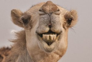 Close up of the face and teeth of a camel